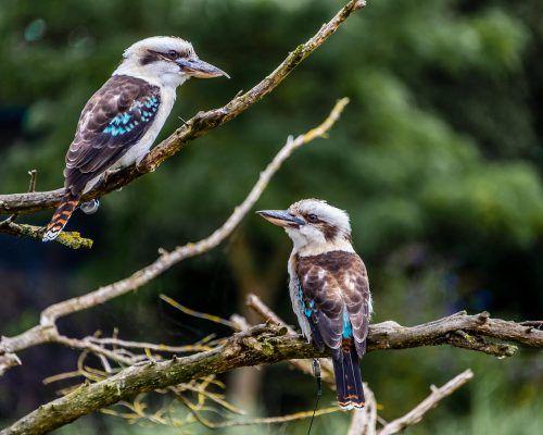 chillagoes-bird2